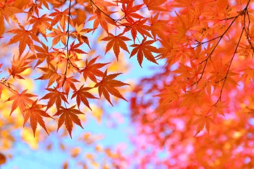 秋真っ盛りの紅葉の写真