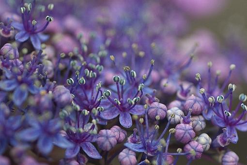 ガクアジサイの小さな花たちの写真