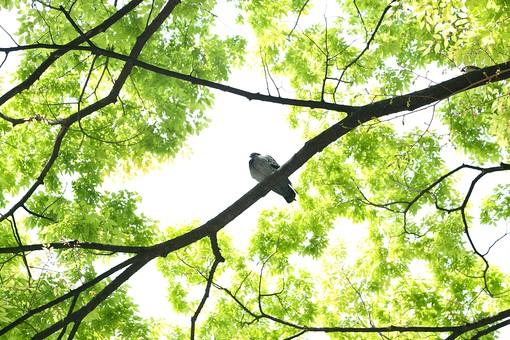 葉 緑  新緑  日本  自然 植物 屋外 壁紙 背景 背景素材 バックグラウンド 光 青空 環境 エコ   さわやか 爽やか 初夏 森 森林 木 木々 空 木漏れ日 鳥 枝