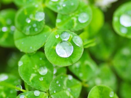 クローバー 水滴 緑 5月 5月 初夏 五月 植物 フレッシュ 瑞々しい みずみずしい 雨上がり エコ 環境 みどり 自然 素材 画像 写真 フリー グリーン 葉っぱ 葉