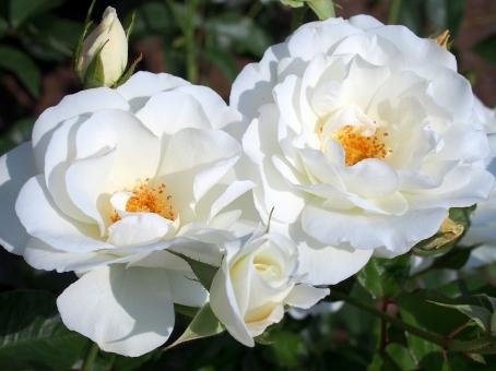 薔薇 白バラ バラ園 バラ 白いバラ 白い薔薇 白薔薇 ローズ つる植物 白い花 園芸 鑑賞 トゲ 花 棘 刺 植物