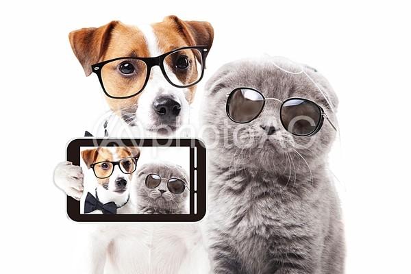 眼鏡のジャックラッセルテリアとサングラスのスコティッシュフォールドの写真