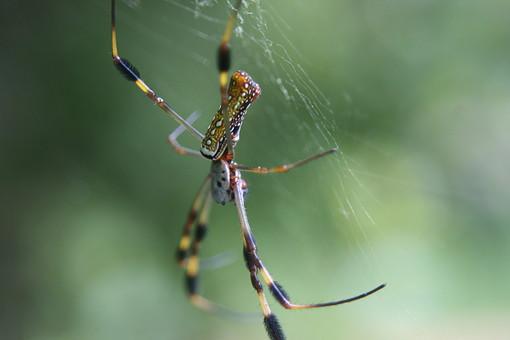 オーブ-ウィーバースパイダー ゴールデンシルクオーブ-ウィーバースパイダー くも 蜘蛛 クモ スパイダー 毒蜘蛛 毒グモ 昆虫 クモの巣 蜘蛛の巣 くものす 自然 アップ 野生 森 ムシ 虫 生き物 コレクション ペットショップ 1匹 黄色 黒 植物