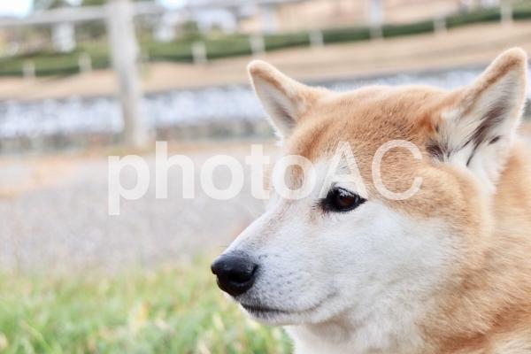 柴犬 たそがれの写真
