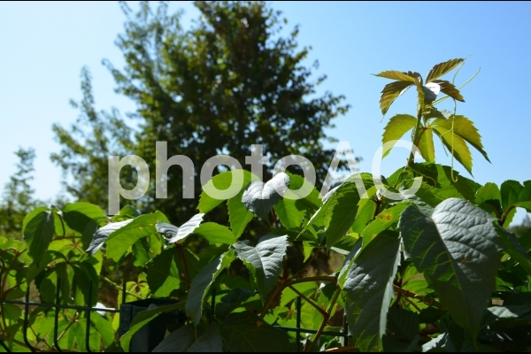 緑いろの葉っぱと青空の写真