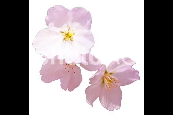桜_5の写真