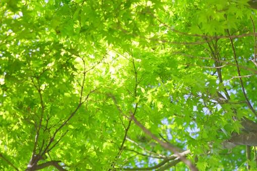 新緑 緑 わかば 若い 空 木 植物 春 初夏 横位置 余白 明るい 新鮮 空気