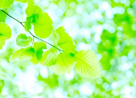 ブナ ぶな 山毛欅 山毛欅林 ブナ林 ぶな林 葉っぱ 木の葉 木葉 はっぱ 木の枝 小枝 自然 風景 木 樹木 森 植物 緑 グリーン エコ エコロジー 環境 ECO eco ECO 森林 森林浴 森林セラピー 癒し いやし リラックス リラクゼーション やすらぎ 安らぎ マイナスイオン 健康 美容 背景 背景素材 テクスチャ テクスチャー バックグラウンド 5月 夏 緑 春 初夏 癒し きらめき キラメキ 優しさ やさしい 優しい 揺らぎ 玉ぼけ 光 輝き キイロイトリ