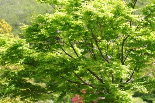 5月 こどもの日 花 植物 横位置 余白 公園 花壇 緑 若葉 風 薫風