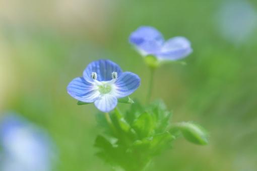 オオイヌノフグリ ブルー 青 グリーン 緑 背景 花 小さな花 可愛い 春 早春 爽やか さわやか 幻想的 ロマンチック 涼しい 涼しげ クール 壁紙