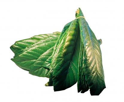 びわの葉 枇杷の葉 ビワの葉 びわ ビワ 枇杷 植物 琵琶 葉 自然 白抜き 薬草 草 緑 お灸