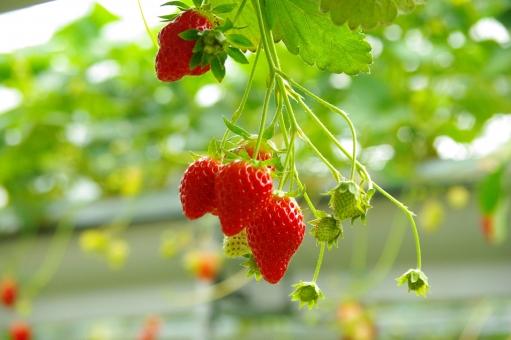 苺 いちご 苺狩り いちご狩り フルーツ フルーツ狩り 春 ツアー 旅行 イベント イメージ 可愛い 新鮮 果物 もぎたて 体験 春休み 旬