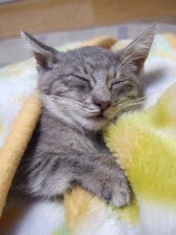子猫 猫 ネコ ねこ キャット にゃんこ グレー 眠る 昼寝 寝る 猫の手 ヒゲ 白いひげ 安心 リラックス 毛布 目をつむる 目を閉じる 寝た 家猫 飼い猫 室内猫 かわいい ふわふわ シマ模様 耳 顔 表情