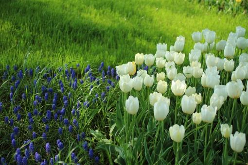 チューリップ tulip 白い花 爽やか 可愛い カラフル 楽しい 可憐 春 4月 お花畑 花壇 園芸 花 コバルトブルー 公園 陽だまり お昼寝 妖精 芝生 落ち着き 静か