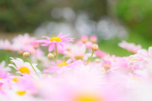 マーガレット ピンクの花 ピンク 桃色 ふんわり 花畑 花壇 ガーデニング 舞う モクシュンギク 前ぼけ 壁紙 ヘッダー 花 植物 背景 コピースペース 文字スペース 玉ボケ ファンタジー メルヘン 幻想的 パステル 花言葉 真実の愛 信頼