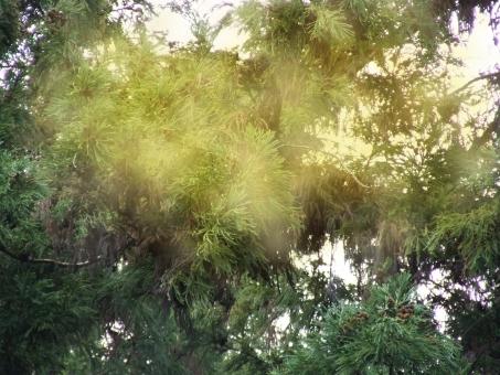 杉 すぎ スギ 花粉症 花粉アレルギー 花粉症対策 花粉対策 対策 鼻炎 アレルギー性鼻炎 飛散 雄花 杉花粉 すぎ花粉 スギ花粉 花粉情報 アレルゲン アレルギー 花粉症患者 減感作療法 舌下免疫療法 レーザー手術 漢方薬 漢方 水素水 甜茶 紅ふうき べにふうき べにふうき茶 乳酸菌