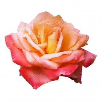 【パス入り】あざやかな黄赤のバラの写真