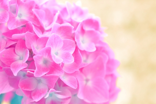 紫陽花 あじさい アジサイ 花 植物 初夏 夏 梅雨 5月 6月 7月 パステル ピンク 桃色 ぴんく 壁紙 コピースペース 文字スペース クローズアップ アップ ふんわり 可愛い かわいい 背景 ベージュ
