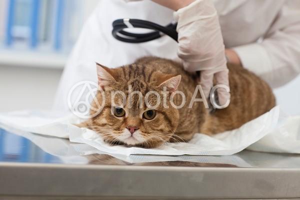診察を受ける猫50の写真