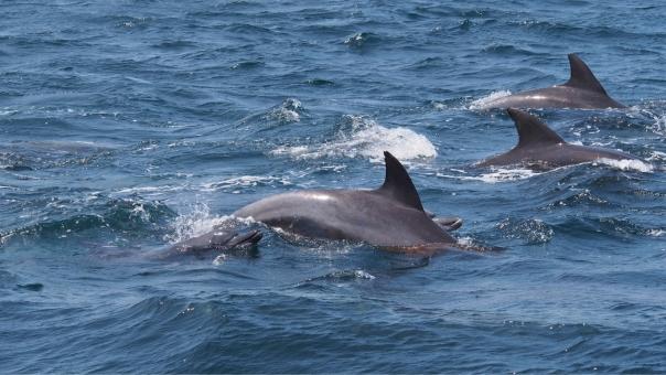 イルカ 躍動 跳ねる 泳ぐ 動く 癒し 癒される かわいい しぶき 群れ 動物 生き物 イルカウォッチング 海