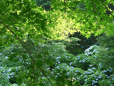 あじさい 紫陽花 アジサイ 花 植物 フラワー 種子植物 花弁 花びら 生花  葉 葉っぱ 緑 草 移り気 浮気 ほらふき 変節 無情 冷淡 高慢 辛抱強い愛情 強い愛情 元気な女性 6月 7月 梅雨 夏 新緑