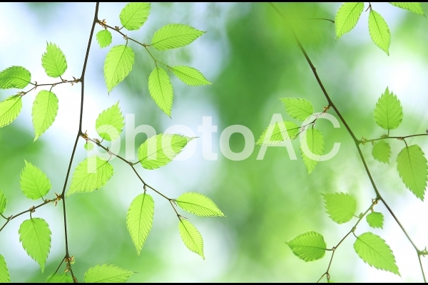 新緑の葉っぱ 若葉 ケヤキ 欅の写真