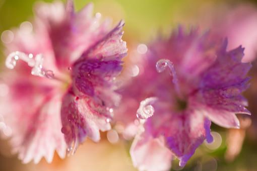 自然 植物 花 花びら 紫 おしべ めしべ 花粉 ピンク 桃色 雨 雨粒 粒 玉 水玉 朝露 みずみずしい 綺麗 可愛い 美しい 爽やか ギザギザ 成長 育つ 咲く 開花 満開 開く ぼやける ピンボケ 無人 室外 屋外 風景 景色 アップ 幻想的 ナデシコ 撫子