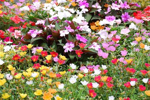 花 植物 生花 フラワー アップ クローズアップ 屋外 外 野外 葉 葉っぱ 草花 ガーデニング 栽培 自然 風景 花弁 園芸 庭 趣味 花びら 開花 めしべ おしべ 植物素材 花素材 花畑 複数 たくさん 咲き誇る 白 ピンク 赤 オレンジ 橙