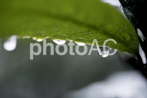 水が滴る葉の写真
