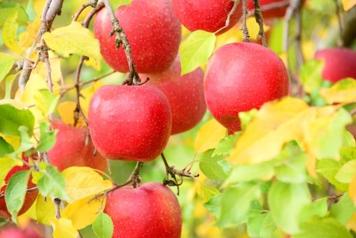 りんご リンゴ 林檎 リンゴの木 林檎の木 りんごの木 真っ赤 自然 植物 食べ物 果物 フル-ツ 新鮮 食べ頃 果樹 果樹園 りんご畑 美味しい 甘い りんご農家 収穫 出荷 畑 赤 葉 枝 実 秋 晩秋 晴れ