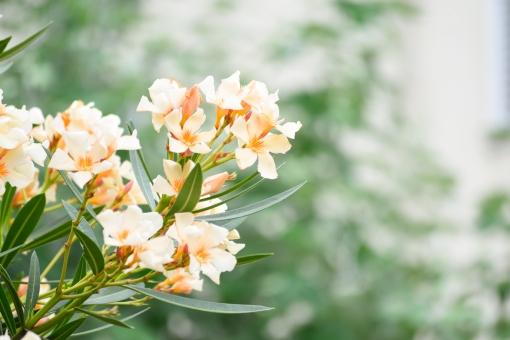 夾竹桃 きょうちくとう キョウチクトウ 花 植物 低木 木 オレンジ 橙 橙色 初夏 夏 6月 7月 8月 9月 壁紙 コピースペース 文字スペース 珍しい