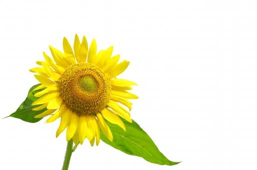 真夏 元気 暑い サンフラワー ひまわり ヒマワリ 向日葵 花 植物 黄色 夏 太陽 葉 緑 鮮やか 白 自然 背景 白抜き 白バック 白背景 加工用
