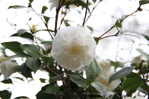 山茶花 さざんか サザンカ 冬  花 花びら 和 枝 小枝 自然 背景 かわいい 美しい 春 日本 満開 きれい 上品 シンプル 清楚 可憐 生花 アップ 樹木 植物 城
