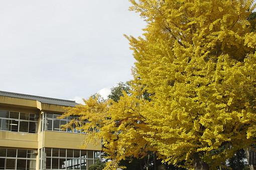 学校 校舎 建物 窓 ガラス 秋 秋イメージ 紅葉 銀杏 いちょう イチョウ 黄色 黄色い葉 葉っぱ 葉 樹木 樹 木 枝 小学校 中学校 高校 高等学校 田舎 郊外