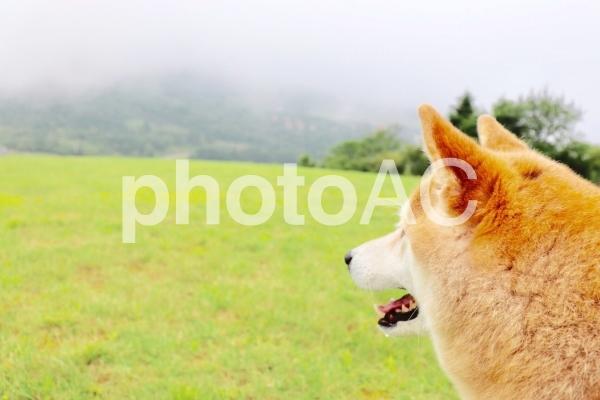 柴犬 ドッグランで楽しむの写真