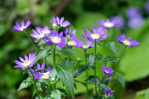 都忘れ みやこわすれ ミヤコワスレ 花 植物 春 春の花 紫の花 紫 背景 壁紙 自然 可愛い かわいい 可憐 ガーデニング 庭 草花 和風 和 日本 花畑 和の花 緑 初夏 5月 4月 五月 6月 六月