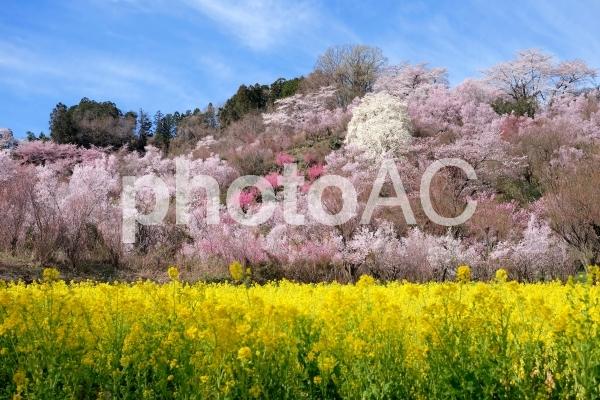 花見山の写真