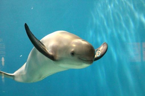 スナメリ 砂滑 ネズミイルカ科 イルカ ほ乳類 哺乳類 水族館