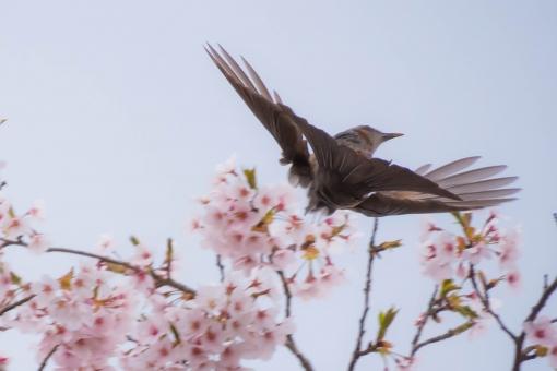 鳥 とり トリ 桜 植物