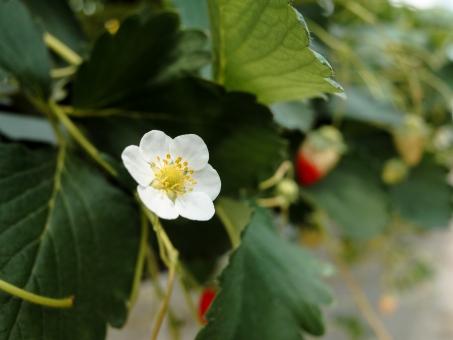 イチゴの花の写真