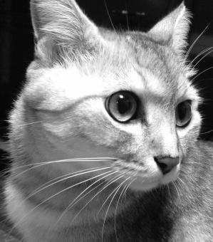 猫かっこいい画像