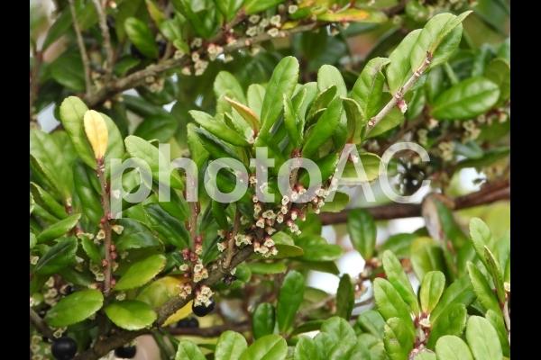 ハマヒサカキの花の写真
