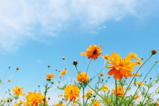 オレンジ色のコスモスの写真