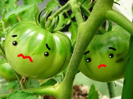 家庭菜園 かていさいえん トマト とまと 青 緑 黄緑 楽しみ 園芸 家庭 家族 手作り 庭 プランター 食べる 匂い 完熟 まだ 食べられない ヘタ もぎ取る 収穫 料理 種 じゅるじゅる イメージ 青いトマト 熟す 熟してない ジュルジュル 臭い くさい 青臭い 嫌い 苦手 茎 葉 7月 8月 季節 食べ物 植物 食物 季節の食べ物 夏 暑い 体を冷やす 栄養 健康 美容 体にいい 大好き 好き もしゅもしゅ君 もしゅもしゅ かお 顔 カオ 絵 描く 顔付 顔つき 困った 困った顔 へこたれる 不安 迷う 泣きそう