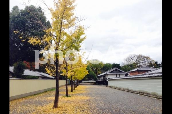京都御苑で撮影した銀杏の木の写真