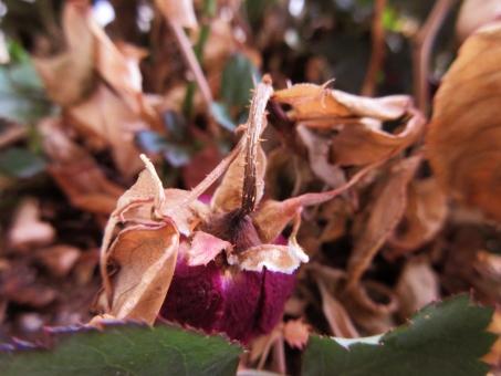 枯レ薔薇の写真