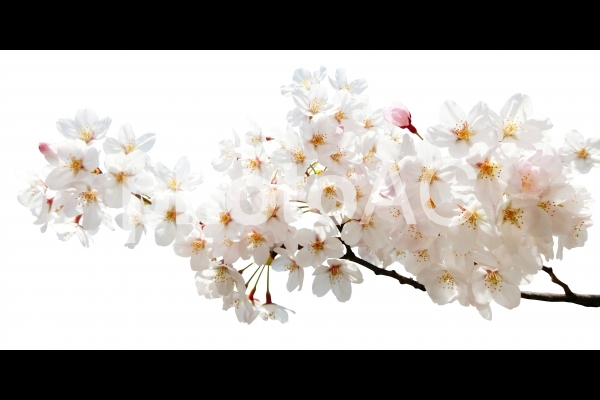 満開の桜-白背景の写真