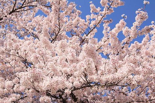 桜 さくら サクラ 春 満開 開花 花びら ピンク 桃色 ピンクの花 桃色の花 アップ おしべ めしべ 枝 植物 樹 樹木 木 屋外 綺麗 咲く 暖かい かわいい 明るい 青空
