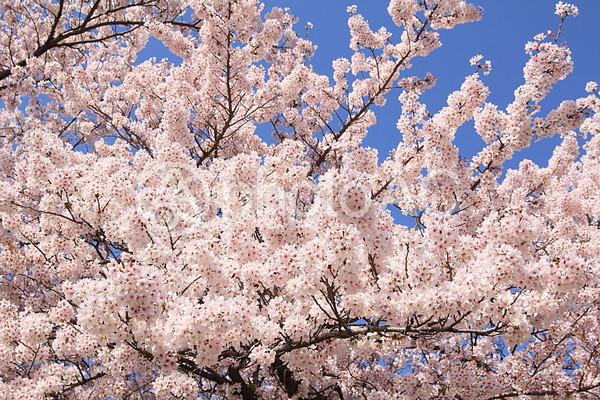 青い空と満開の桜の写真