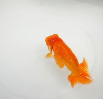 金魚 らんちゅう 生き物 魚 和 夏 涼 生物